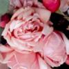 rosesmany3