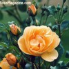 roseyellow2