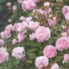rosesseveral