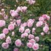 rosesverymany