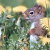 squirrelflowers