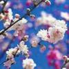 blossomssue