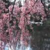 cherryblossoms-photo