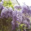 Glycine_Spring_2007