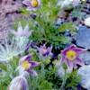 springearly