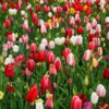 tulipscolorful_(615x410)