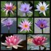 waterliliesmany