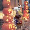 halloweenpooch