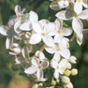 lilacwhite