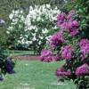 lilacgarden