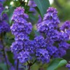 lilacdeeppurple