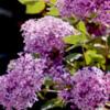 lilacs12