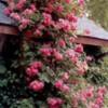 rosesonwaltool