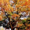 autumnmaple