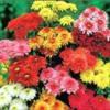 chrysanthemumsmany