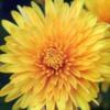 chrysanthemun2