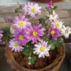 chrysanthemumpot
