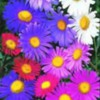 asters-multicolors
