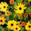flowerblackeyed susan