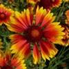 Gailardia-X-Grandflora