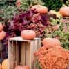 pumpkinsplants