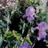 irisbunch