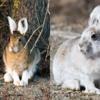 rabbit2colors