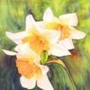 daffodilsfootmouth