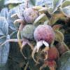 berriesfrost