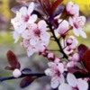 blossombranch
