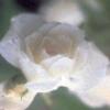rosewhite1