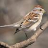 americantreesparrow
